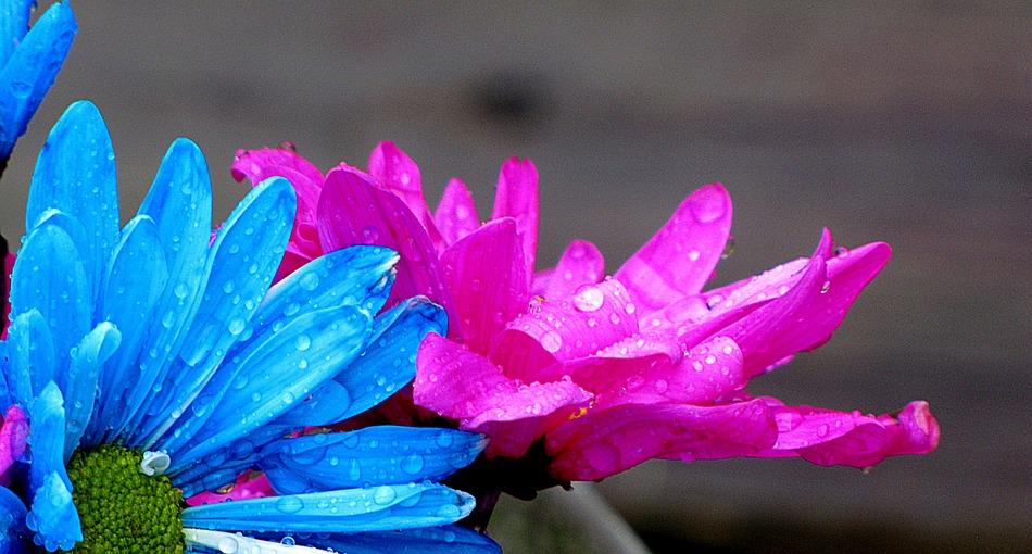 pink-kék virág